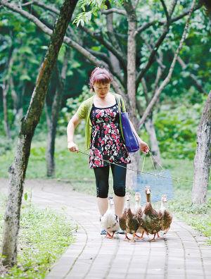 重庆家庭主妇养鸭子作宠物 每天带至公园遛