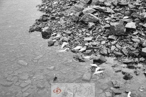 河南一水厂取水口死鱼荡漾 网友担心全城喝鱼汤