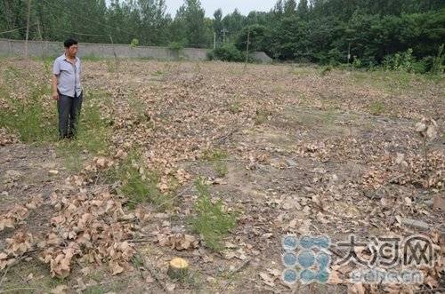 河南200多棵杨树合同期内被砍 承包户未接通知