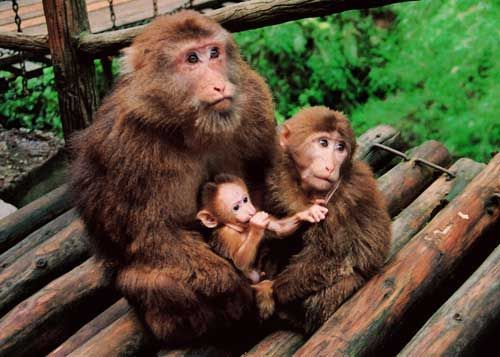 峨眉山的猴子