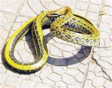1米半长贪吃蛇藏